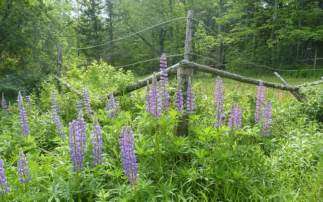 Lupine Fence
